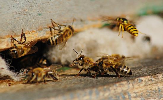 abelha agrotoxico